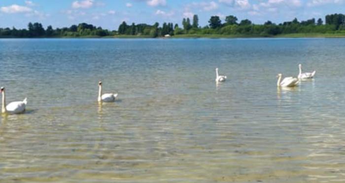 Ратнівщина: на озері Луки живуть лебеді