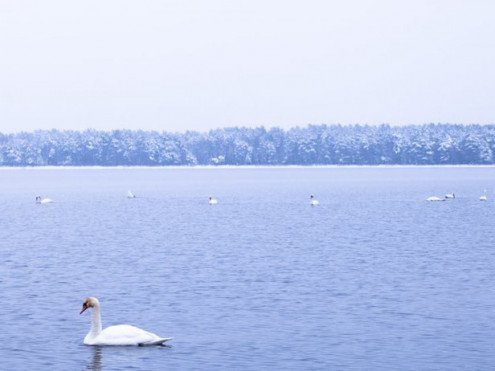 Засніжені троянди та красені-лебеді: шацька фотографка показала зимову красу курортного озера